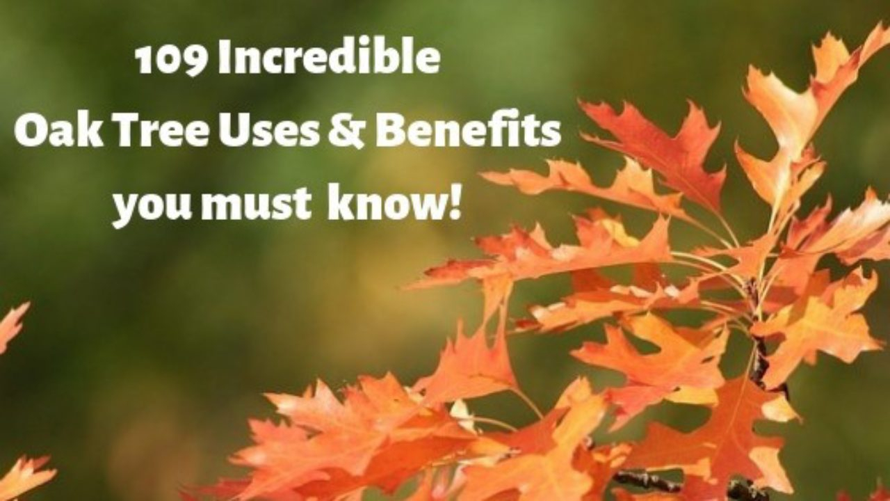 109 Incredible Oak Trees Uses & Benefits You Probably Didn't Know With Regard To Most Recently Released Oak Leaf Double Rings (View 14 of 25)